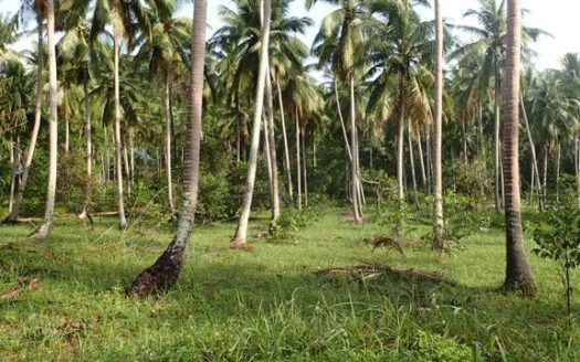 Koh Phangan peaceful coconut land for sale