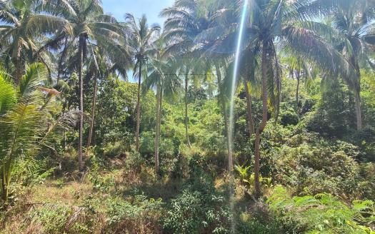 Sri Thanu bargain chanot land for sale (5)